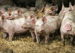 Scottish pig prices see steady summer increase