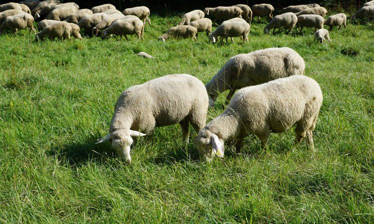 Scottish pair charged over sheep worrying incident