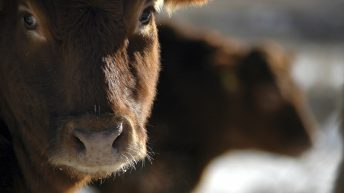 Vets and welfare body make joint call to end non-stun slaughter