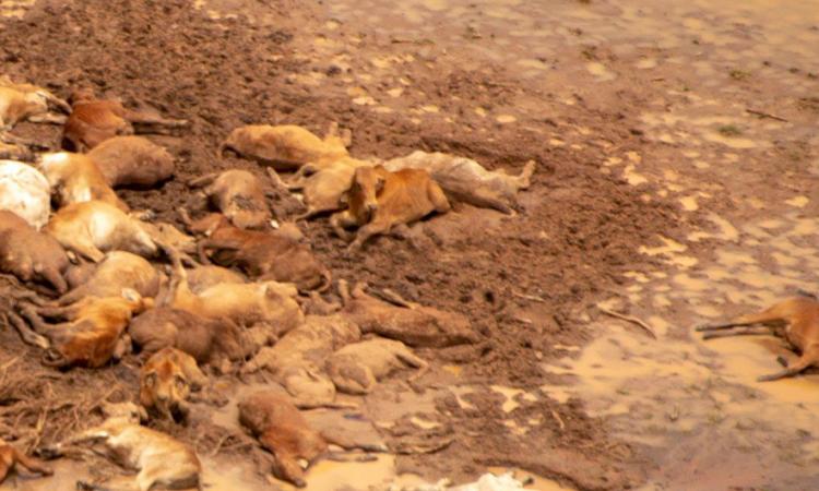 Video: Australian floods see an estimated 500,000 cattle perish