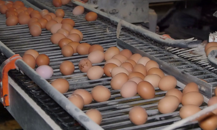 British egg industry warns food fraud fines are not strong enough