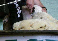 Fashion giant makes swift 'ewe'-turn on wool ban