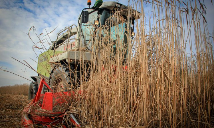 Suffolk open day to demonstrate Miscanthus diversification