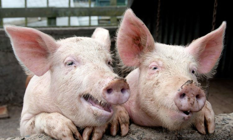 'Pigs R Us' theme: Antibiotic reduction – no impact on production