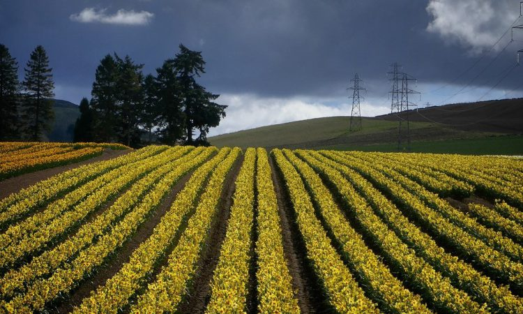 Scientists findings suggest daffodils could replace antibiotics in feed