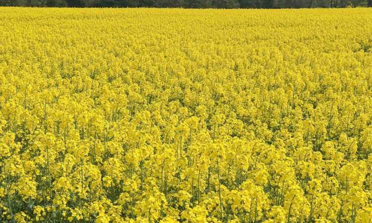 18,000ha of rapeseed destroyed in France due to GMO risk