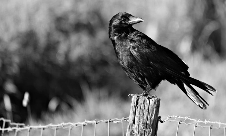 New general licence for controlling carrion crows comes into force
