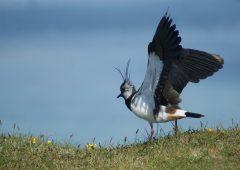 Working for waders: Bringing wading birds back to Scottish farmland