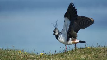 Working for waders: Bringing wading birds back to Scottish farmland
