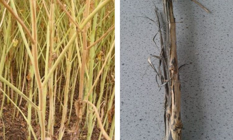Verticillium wilt disease ratings 'one step closer'