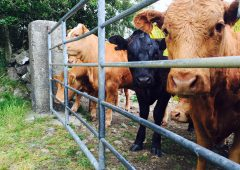 Renewed appeal for info on farmyard cattle raid