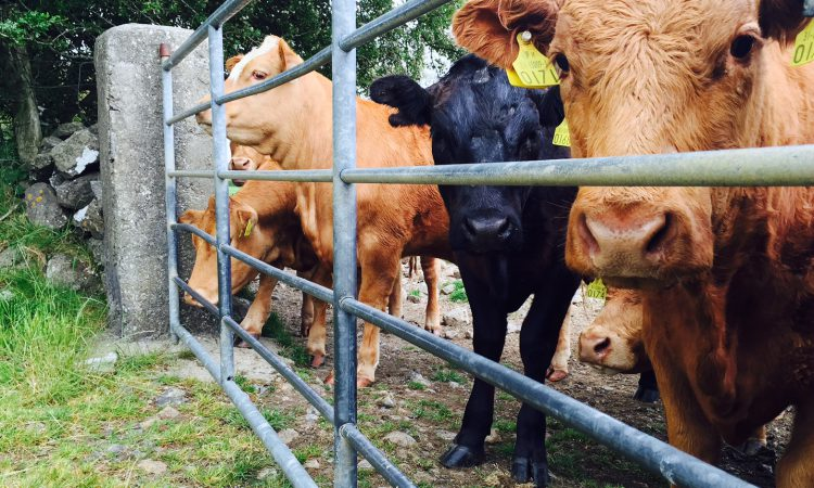 Renewed appeal for info on farmyard cattle raid