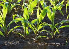 Snow sees corn planting behind…switch to soybeans on the way?