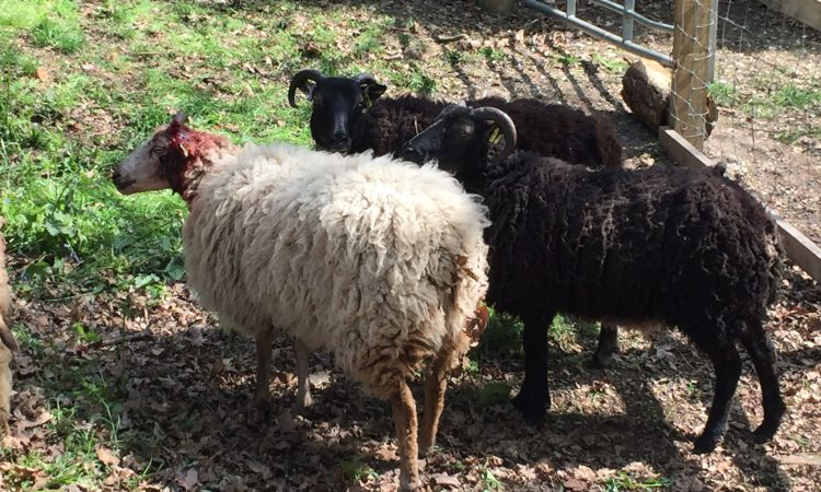 Teens arrested for throwing stones at sheep