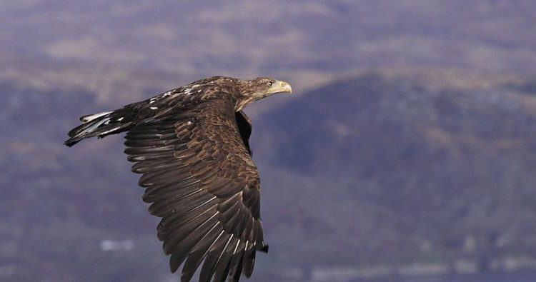 Report recognises white-tailed eagles predation of healthy sheep