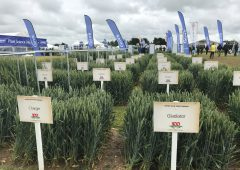 A look at the history of wheat at Cereals