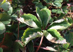 New strawberry disease control programme could halve costs