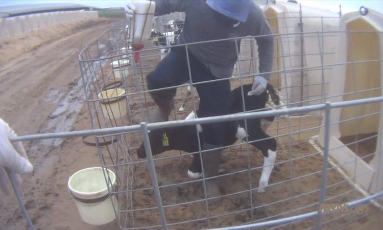 Fair Oaks Farms takes action following emergence of calf abuse video