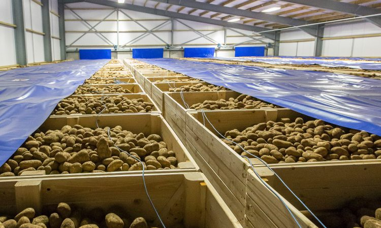 Scottish potatoes help keep GB potato sector afloat