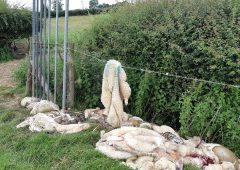 Police appeal for information after more sheep butchered in fields