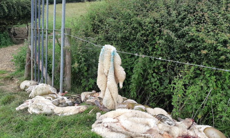 More than 700 sheep illegally butchered in England since February