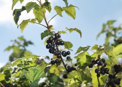 British blackcurrant harvest beats climate change predictions