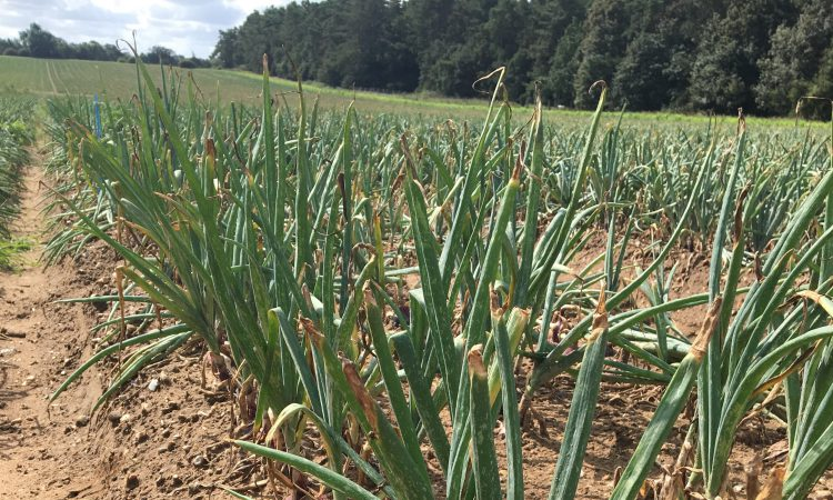 AHDB launches 4 new strategic centres for field vegetable crops