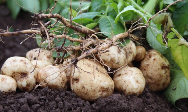 Future of chemistry focus at Potatoes in Practice