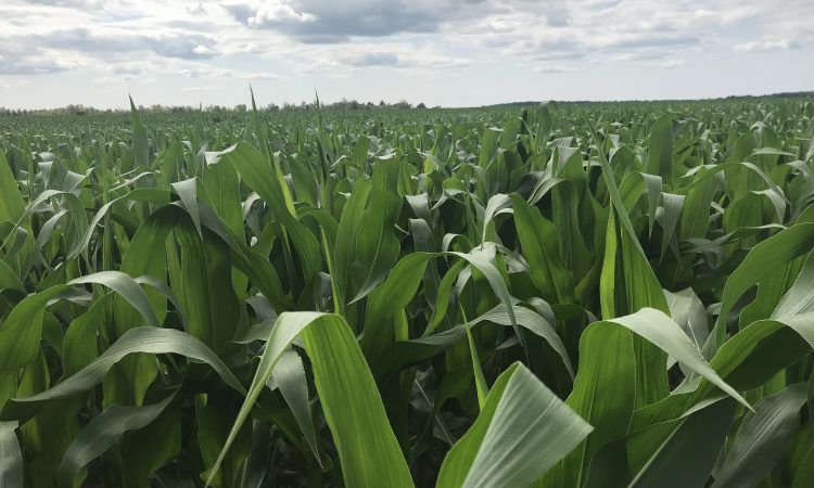 US corn price drops dramatically