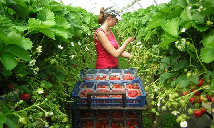 Herefordshire horticulture firm to lead on labour productivity