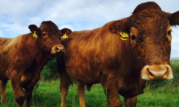 Almost 11,000 cattle reported lost or stolen in 3 years in NI
