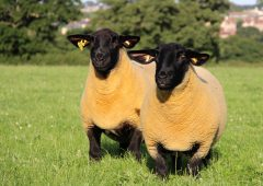 Suffolk Sheep Society: 125 years of breeding excellence for Irish farmers