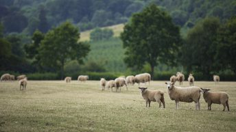NSA launches its 2021 sheep worrying survey