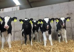 New calf pneumonia vaccine to protect calves as early as 1 week