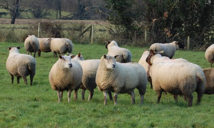 Thinking of synchronising your ewes for the breeding season?