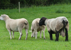 What are the benefits of raddling rams for the breeding season?