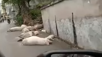 Graphic: Video shows extent of ASF in rural Chinese village