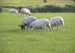 Testing of grass-fed Welsh Lamb reveals increased protein levels