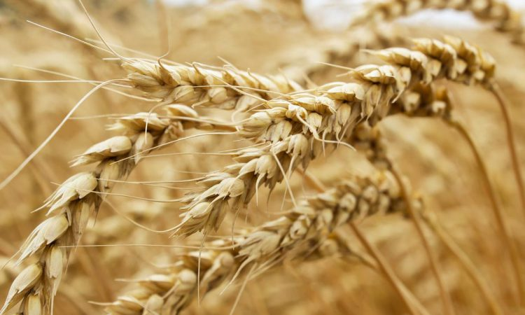 Grain price: Struggling to plant on the continent
