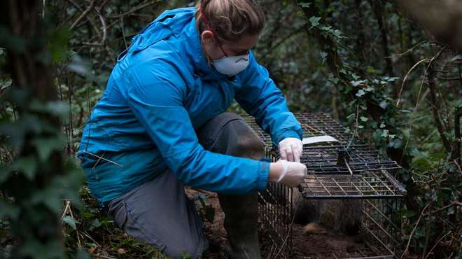 UK study claims badger cull survivors roam over greater areas