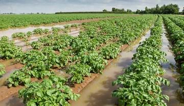 Despite the rain, British potato harvest is 89% complete