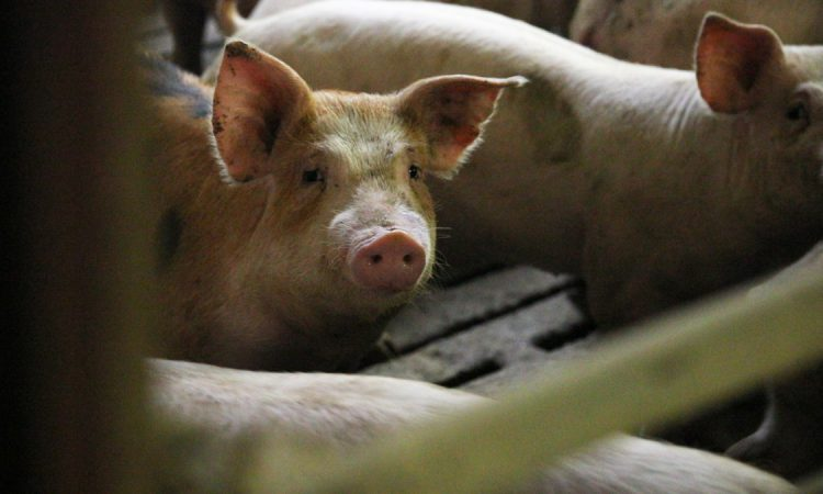Quarter of world's pigs could be lost to ASF – OIE president
