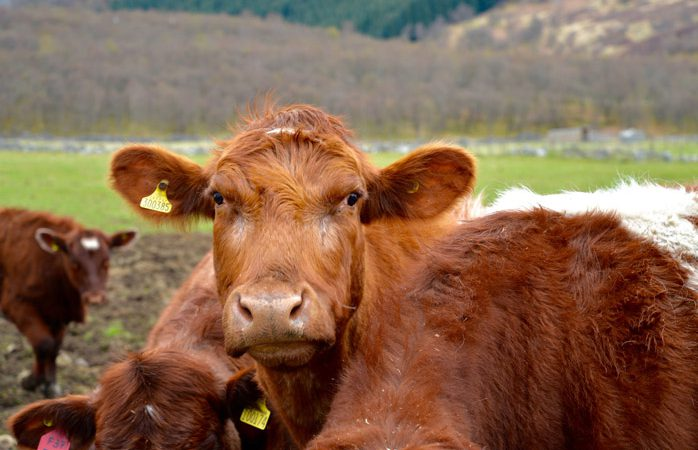 Spring-calving warning: Farmers advised to consider delaying weaning