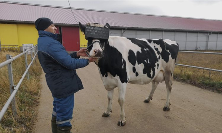 Cows tested with VR glasses to 'improve mood' of herd