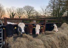 Irish beef prices 44c/kg behind Northern Ireland