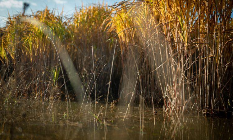 Miscanthus farm walk to showcase crop on flooded land