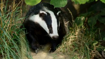 Government to trial bovine TB vaccinations on UK farms and 'phase out' badger culls