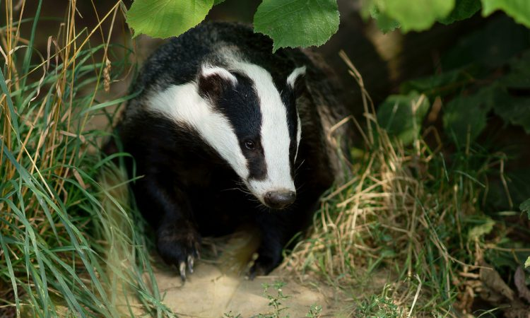 UK study finds TB 10 times more likely to transmit from badgers to cows than in reverse