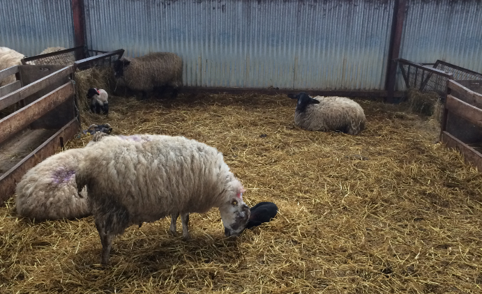 Sheep advice: Time to stock up on lambing essentials