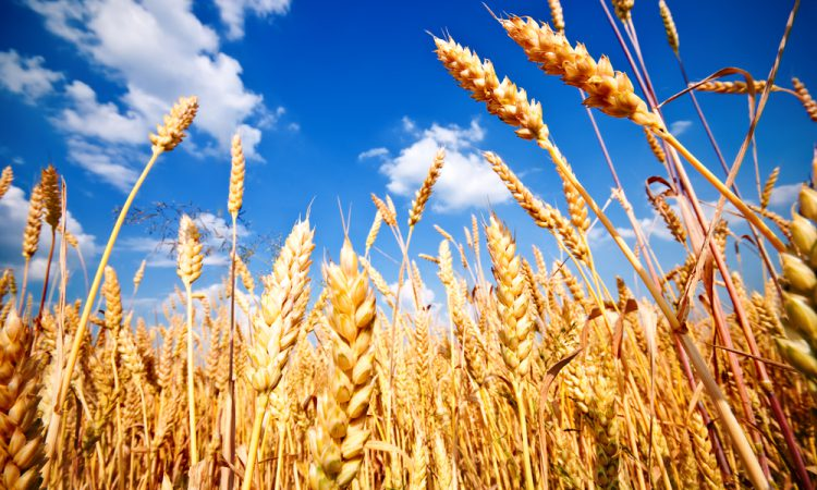 Grain price: Rise this week